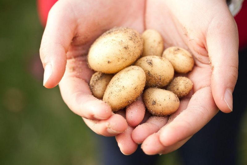 Спеціалістка з персонального харчування розповіла про користь і шкоду молодої картоплі