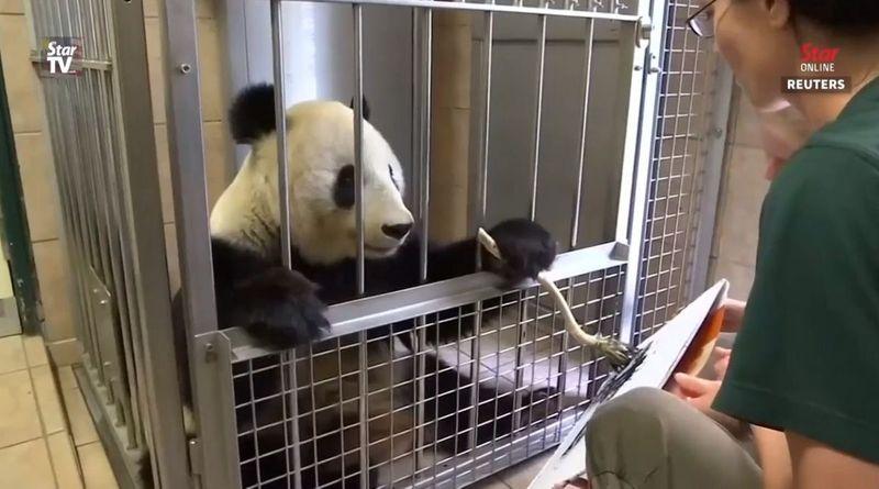 Панда у віденському зоопарку почала малювати картини (відео)
