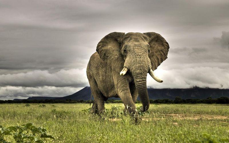Коли тварини розумніші за людей: сім'я слонів проілюструвала приказку про непрошеного гостя