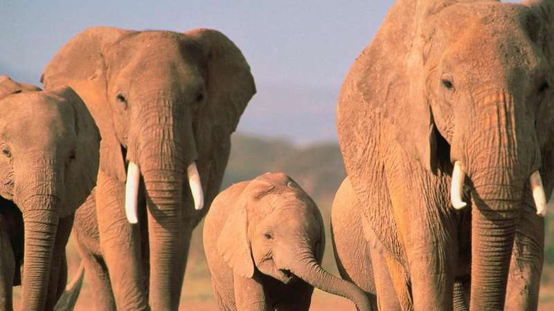 У Зімбабве слон на смерть затоптав туристку