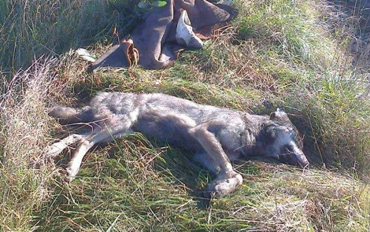 Мешканка Тернопільщини розповіла, як на неї напав вовк