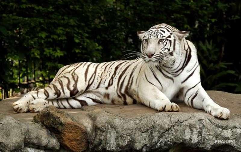 У Японії тигр загриз доглядача зоопарку