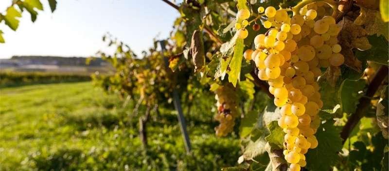 Російські окупанти в Криму знищують виноградники, - МінТОТ