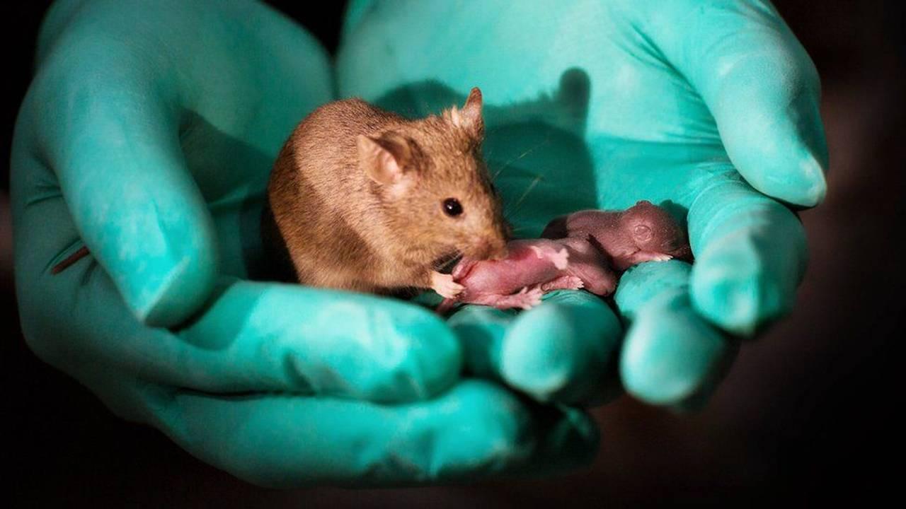 Одностатева пара мишей народила малюків: що це означає для людей