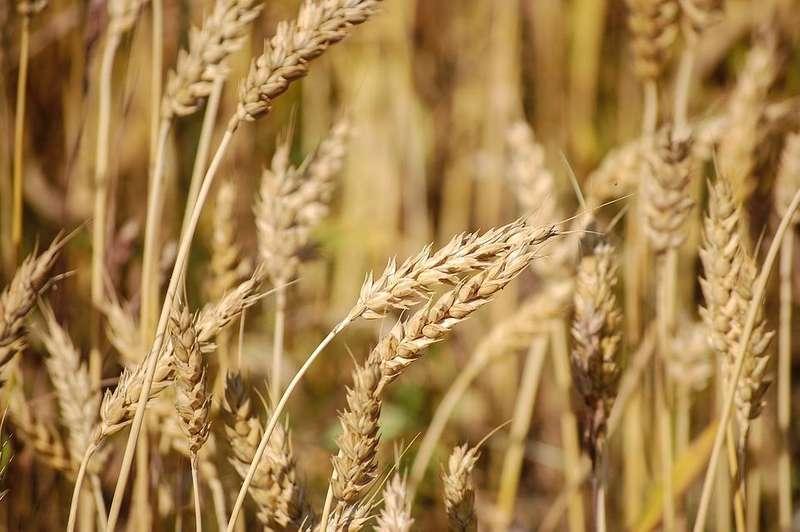 Мінагро підвищило прогноз врожаю зернових майже на мільйон тонн