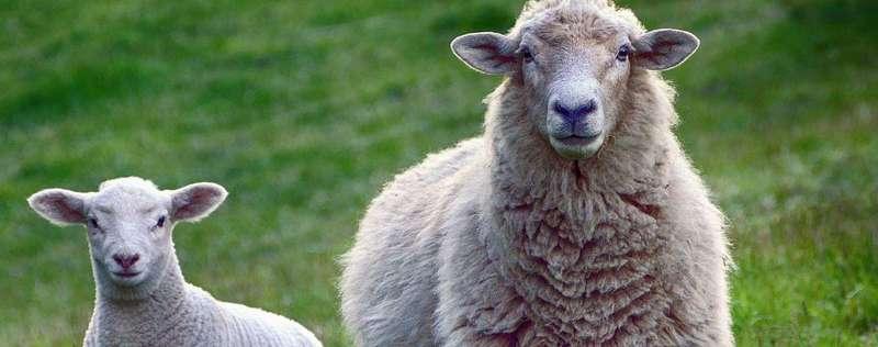 300 овець: доля тварин, які застрягли на митниці
