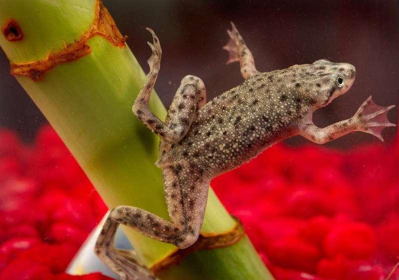 Науковці повністю відростили жабам нові кінцівки