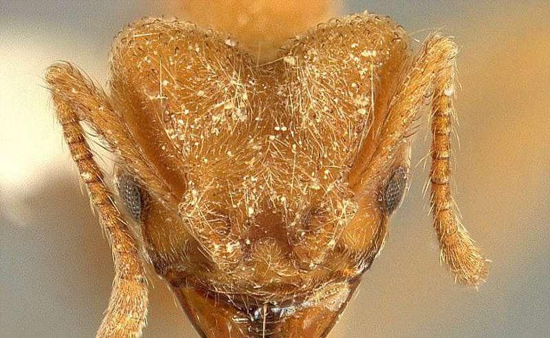 Науковці з'ясували, чому флоридські мурахи прикрашають свої житла черепами вбитих ворогів