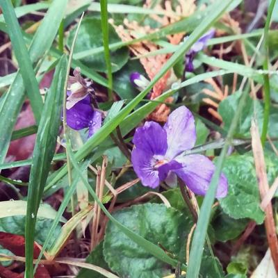 Напередодні зими у Львові зацвіли весняні квіти (фото)