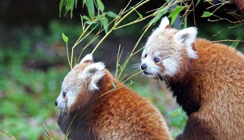 У зоопарку Белфаста вперше вийшла з лігва пара рідкісних червоних панд