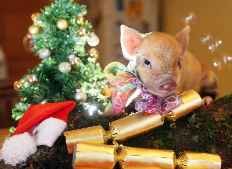 Свиня любить оптимістів!
