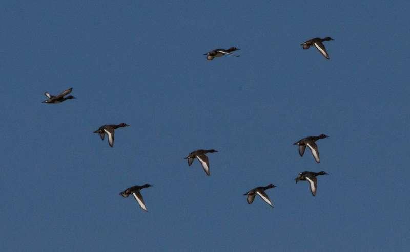 В Україні стрімко скорочується чисельність рідкісного виду качок