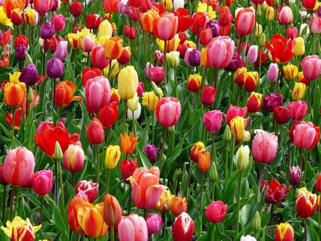 Серце квітникаря розривається: мільйони троянд, тюльпанів та хризантем опиняться цьогоріч на смітнику